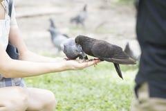 Feeding pigeon Stock Photo