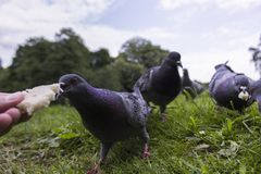 Feeding a pigeon by hand Stock Image