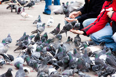Feeding pigeons Royalty Free Stock Photos