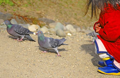 Feeding pigeons. A kid following up a pigeon with a piece of pop-corn in the beak Royalty Free Stock Photos