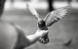Feeding the pigeons Royalty Free Stock Images