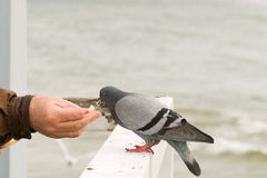 Feeding the pigeons. Royalty Free Stock Photography
