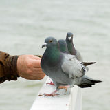 Feeding the pigeons. Stock Photos