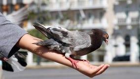 Feeding Pigeons  Stock Photos