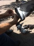 Feeding pigeons on Danforth in Toronto. Summer 2017 stock photo