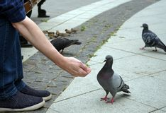 Feeding pigeons from hand in a city Park royalty free stock photos