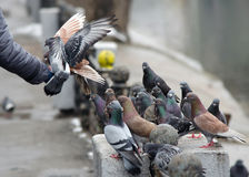 Feeding pigeons with his hands. In the winter. Care, compassion Royalty Free Stock Photos