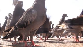 Feeding the pigeons stock video footage