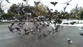 Feeding pigeons in the park Royalty Free Stock Photography