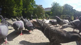 Feeding pigeons in the park. stock video footage
