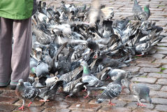Feeding pigeons Royalty Free Stock Photography