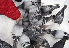 Feeding pigeons in winter Stock Image