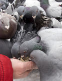 Feeding pigeons in winter Royalty Free Stock Photography