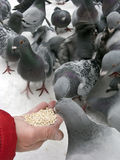 Feeding pigeons in winter Royalty Free Stock Images