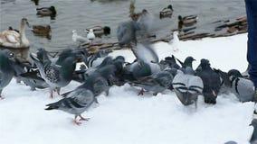 Feeding Pigeons in Winter in Prague stock video