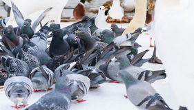 Feeding Pigeons in Winter Stock Photography