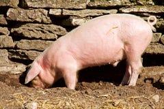 Feeding piglet Royalty Free Stock Photography