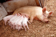 Feeding piglets with sow. Eight cute little piglets sucking milk on their mother pig, a big sow in the stable stock image