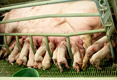 Feeding piglets with sow. Large group of piglets feeding with sow Royalty Free Stock Photo