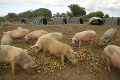 Feeding pigs Royalty Free Stock Images