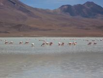 Feeding Pink Flamingos. A group of pink flamingos feeding in a high altitude lake with the Andes mountains in the background Royalty Free Stock Photos