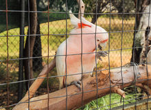 Feeding a pink parrot i Royalty Free Stock Photos