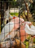 Feeding a pink parrot i Royalty Free Stock Photo