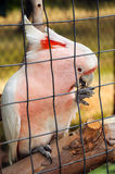 Feeding a pink parrot i Stock Image