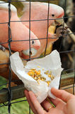 Feeding a pink parrot i Royalty Free Stock Photography