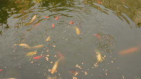 Feeding Pond fish stock video footage