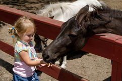 Feeding the ponies. A little girl hand feeds ponies some corn kernals Royalty Free Stock Photography