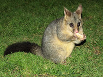 Feeding a possum Royalty Free Stock Image
