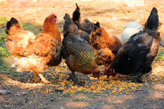 Feeding poultry outdoors Stock Image
