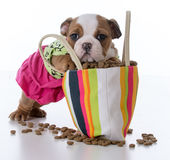 feeding the puppy Stock Images
