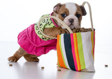 Feeding the puppy Royalty Free Stock Image