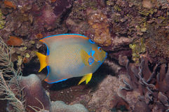 Feeding queen angelfish. An angelfish is presently feeding on coral.  Picture took in roatan, honduras Stock Images