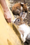 Feeding a rabbit. Royalty Free Stock Photo