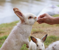 Feeding a rabbit Royalty Free Stock Photos