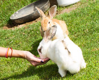 Feeding rabbit Royalty Free Stock Image