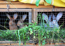 Feeding  Rabbits. In a cage Royalty Free Stock Photos