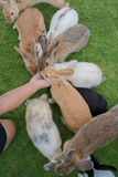 Feeding the rabbits Royalty Free Stock Images