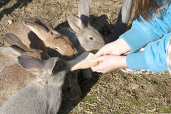 Feeding rabbits Royalty Free Stock Photography