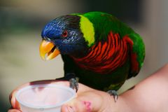 Feeding a Rainbow Lorikeet Stock Image