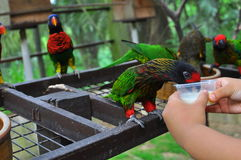 Feeding a rainbow lorikeet with milk. In a bird park Royalty Free Stock Photography