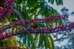 Feeding Rainbow Lorikeet Stock Images