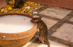 Feeding rat in Karni Mata temple Stock Photo