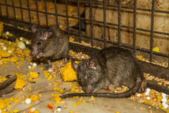 Feeding rat in Karni Mata temple Stock Image