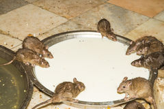 Feeding rats in Karni Mata temple Royalty Free Stock Photography