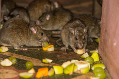Feeding rats in Karni Mata temple stock images