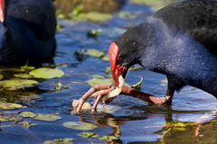 Feeding Red Billed Coot Bird Stock Photo